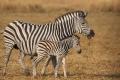 IMG_3615_web_zebra-1024x682