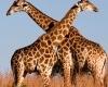 Giraffe-slide-100x100
