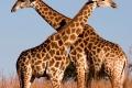 Giraffe-slide-1600x850