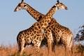 Giraffe-slide-300x225