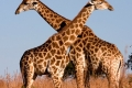 Giraffe-slide-700x400