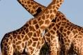 Giraffe-slide-700x865