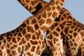 Giraffe-slide-950x316