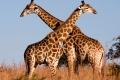 Giraffe-slide