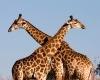 Giraffe-slide1-100x100