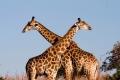 Giraffe-slide1-1024x768