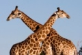 Giraffe-slide1-150x150