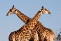 Giraffe-slide1-1600x850