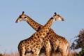 Giraffe-slide1-300x225