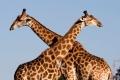 Giraffe-slide1-700x350