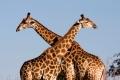 Giraffe-slide1-700x400