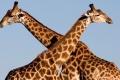 Giraffe-slide1-700x865