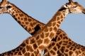 Giraffe-slide1-950x316
