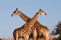 Giraffe-slide1-950x640