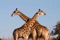 Giraffe-slide1