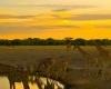 Giraffes-Zebras-Sunset-1200x1600-100x100