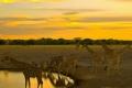 Giraffes-Zebras-Sunset-1200x1600-1024x768