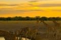 Giraffes-Zebras-Sunset-1200x1600-150x150