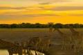 Giraffes-Zebras-Sunset-1200x1600-1600x850