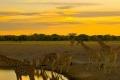 Giraffes-Zebras-Sunset-1200x1600-700x400