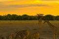 Giraffes-Zebras-Sunset-1200x1600-950x316
