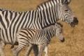 IMG_3615_web_zebra-150x150