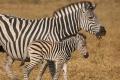 IMG_3615_web_zebra-700x350