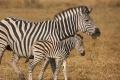 IMG_3615_web_zebra-700x400