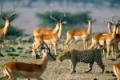 africa-animal-wallpaper-1600x1200-0062-150x150