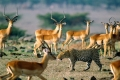 africa-animal-wallpaper-1600x1200-0062-1600x850