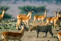 africa-animal-wallpaper-1600x1200-0062-700x350