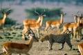 africa-animal-wallpaper-1600x1200-0062-925x465
