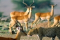 africa-animal-wallpaper-1600x1200-0062-950x316