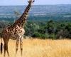 animals_giraffe_masai_mara_game_reserve_kenya_free_animals_beautiful_gallery_hd-100x100