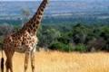 animals_giraffe_masai_mara_game_reserve_kenya_free_animals_beautiful_gallery_hd-150x150