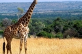 animals_giraffe_masai_mara_game_reserve_kenya_free_animals_beautiful_gallery_hd-1600x850
