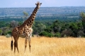 animals_giraffe_masai_mara_game_reserve_kenya_free_animals_beautiful_gallery_hd-300x225