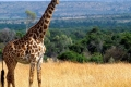 animals_giraffe_masai_mara_game_reserve_kenya_free_animals_beautiful_gallery_hd-700x350