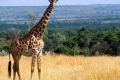 animals_giraffe_masai_mara_game_reserve_kenya_free_animals_beautiful_gallery_hd-700x400