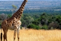 animals_giraffe_masai_mara_game_reserve_kenya_free_animals_beautiful_gallery_hd-925x465