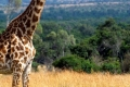 animals_giraffe_masai_mara_game_reserve_kenya_free_animals_beautiful_gallery_hd-950x316