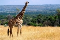 animals_giraffe_masai_mara_game_reserve_kenya_free_animals_beautiful_gallery_hd