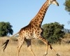 running-giraffe-hd-pictures-free-download-incredible-hd-widescreen-wallpapers-of-giraffe-animal-100x100