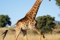 running-giraffe-hd-pictures-free-download-incredible-hd-widescreen-wallpapers-of-giraffe-animal-150x150