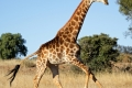 running-giraffe-hd-pictures-free-download-incredible-hd-widescreen-wallpapers-of-giraffe-animal-1920x850