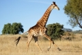 running-giraffe-hd-pictures-free-download-incredible-hd-widescreen-wallpapers-of-giraffe-animal-300x187