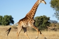 running-giraffe-hd-pictures-free-download-incredible-hd-widescreen-wallpapers-of-giraffe-animal-700x350