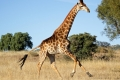 running-giraffe-hd-pictures-free-download-incredible-hd-widescreen-wallpapers-of-giraffe-animal-700x400