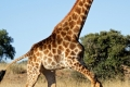 running-giraffe-hd-pictures-free-download-incredible-hd-widescreen-wallpapers-of-giraffe-animal-700x865