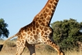 running-giraffe-hd-pictures-free-download-incredible-hd-widescreen-wallpapers-of-giraffe-animal-950x316